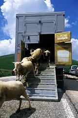 Ingénieur en élevage et production animale