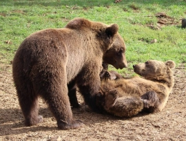 Volontaires dans un refuge d'ours en Croatie